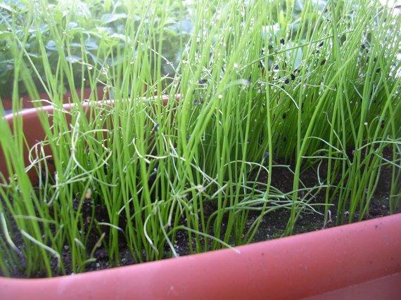 La ciboulette qui pousse mes petites plantes et fleurs for Plante qui pousse