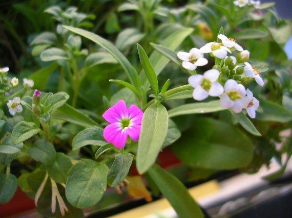 deuxieme sorte de fleurs mes petites plantes et fleurs bidouille photos club doctissimo. Black Bedroom Furniture Sets. Home Design Ideas