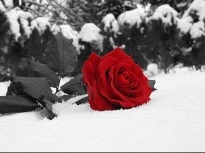 rose sur neige