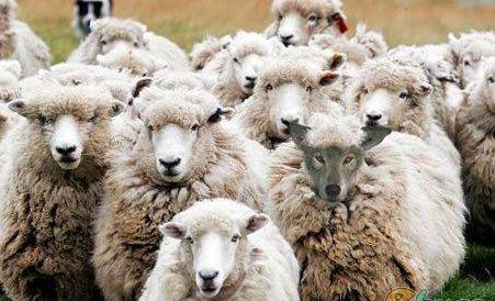 loup-moutons