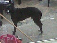 chien voisin pitbull (3)