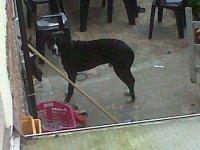 chien voisin pitbull (5)