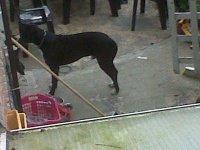 chien voisin pitbull (6)