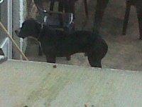 chien voisin pitbull (7)