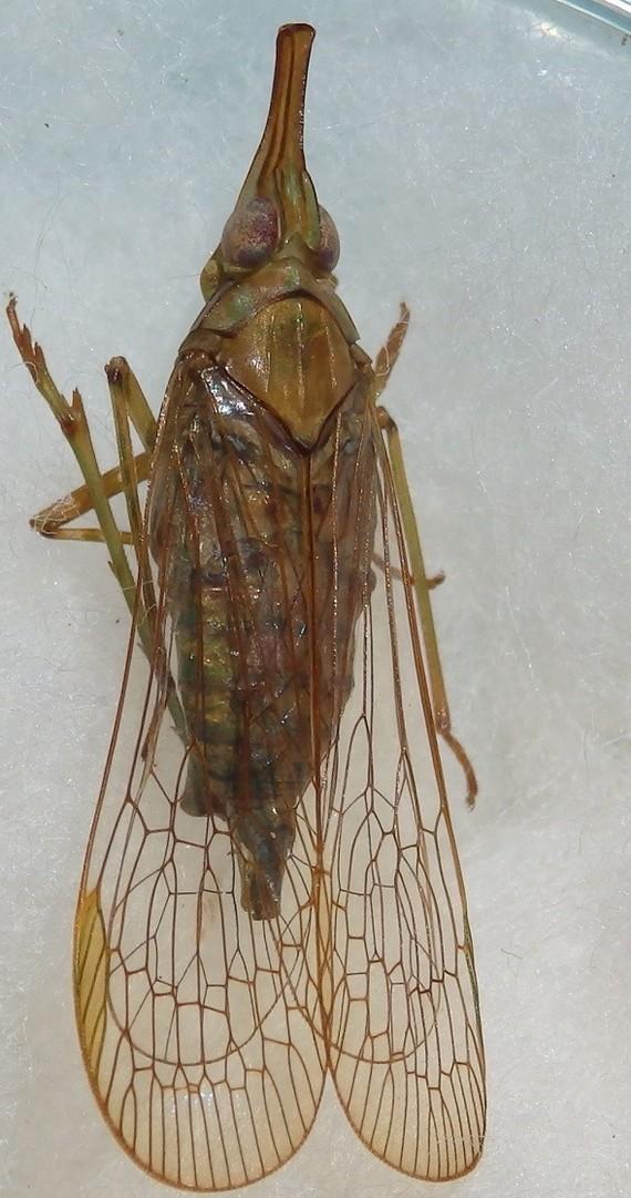 Dictyopharidae 3 Mana 17 mm