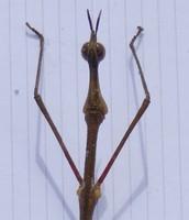 Faut pas se moquer de ma tronche, je suis un Proscopiidae.