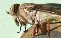 Tabanidae 20 mm Guyane