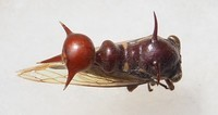 Heteronotus albopunctus, Equateur