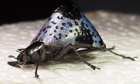 Gibbifer 16 mm