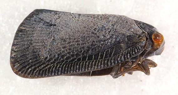Flatidae, 9 mm
