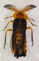 Dryptelytra cayennensis 12 mm