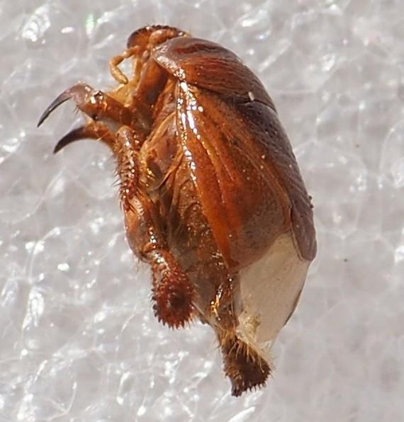 Scaptocoris minor