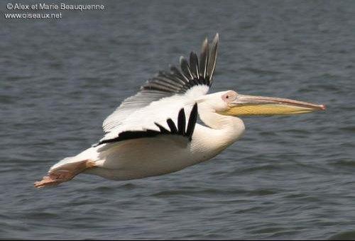 pelican.blanc.ambe.1g