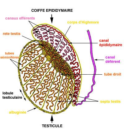 Orchidopexie - Fixation du Testicule - Circoncision - FORUM sexualité
