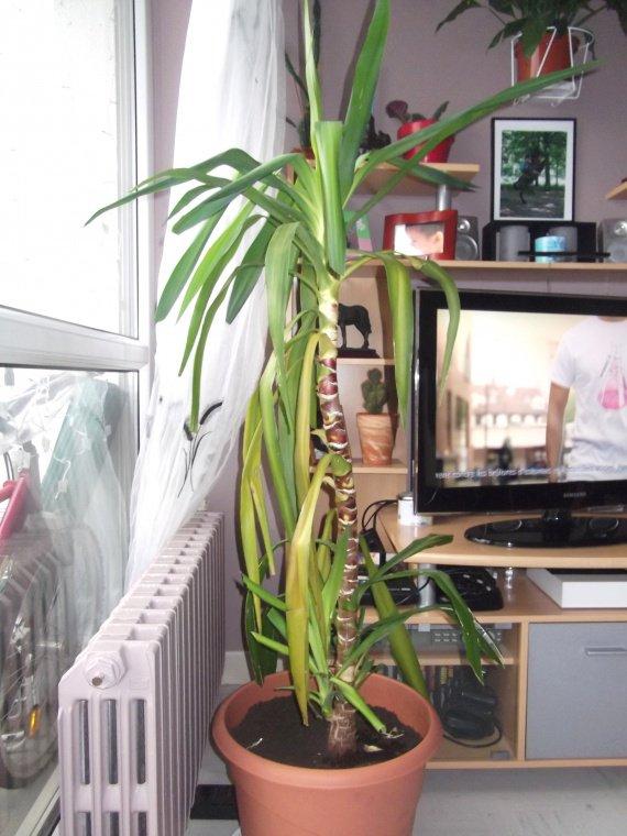 mon yucca un soucie jardinage forum vie pratique. Black Bedroom Furniture Sets. Home Design Ideas