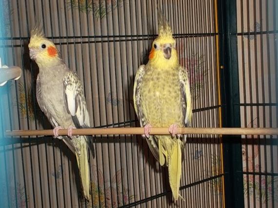 perruche calopsitte m le ou femelle oiseaux forum animaux. Black Bedroom Furniture Sets. Home Design Ideas