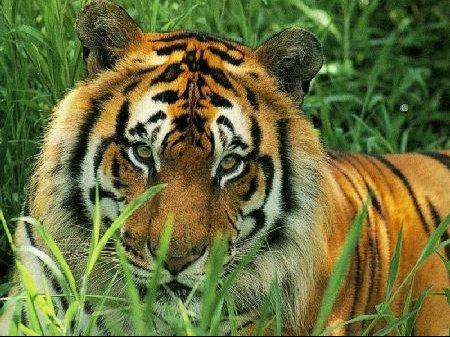 tigre4.jpg3.