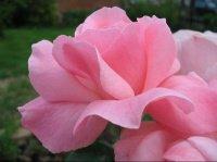 roses rose jardin-5467002688