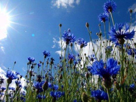champ de bleuets qui se confondent avec le ciel