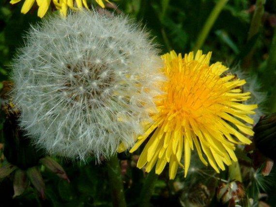fleurs de pissenlit et graines