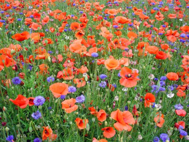 jeudi 19 juin 2014 Coucous-fleurs-sauvages-fleurs-champs-big