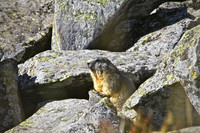 Marmotte en Auvergne