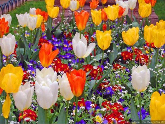 normal_Tulipes