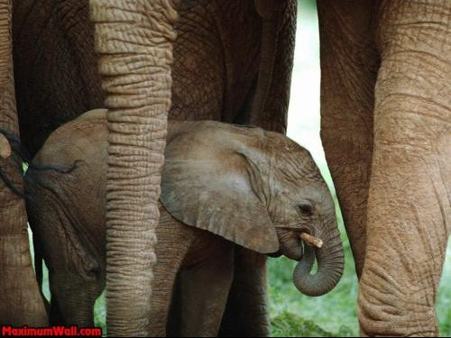 photo_fond_ecran_wallpaper_animaux_elephants_003