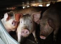 jeunes cochons en route pour l'abattoir