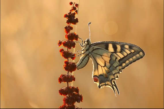 Machaon.