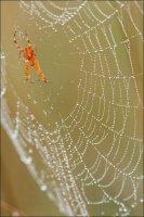 Araignée rouge.