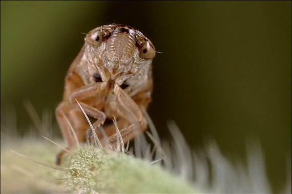 Cicadelle.