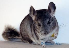 images chinchilla