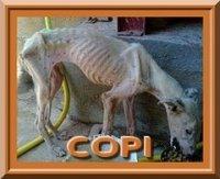 COPI-galgos-ethique-europe-240        (site anti cruauté pour GALGOS)