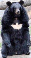 ours noir de Chine
