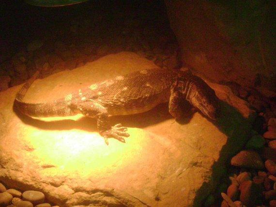 de la famille des reptiles...;