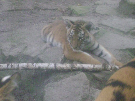 bébé tigre 2