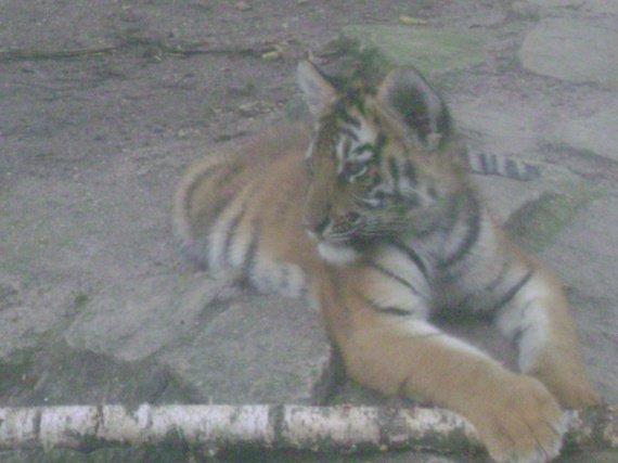 Bébé tigre....