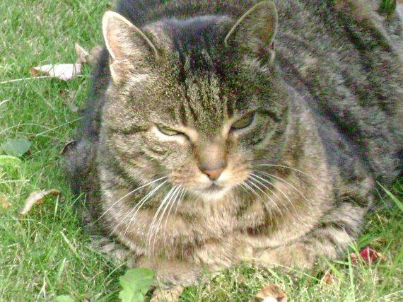 voici KINOU le chat agé de 13ans...