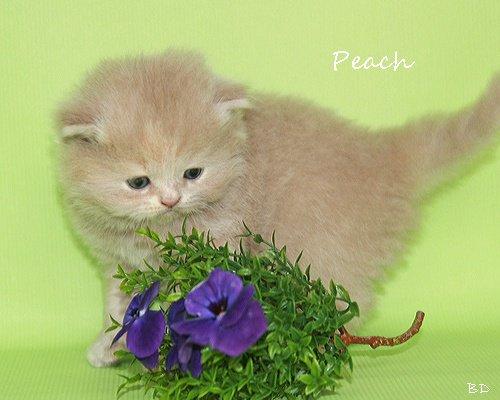 Peach500