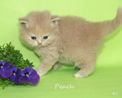 Peach503