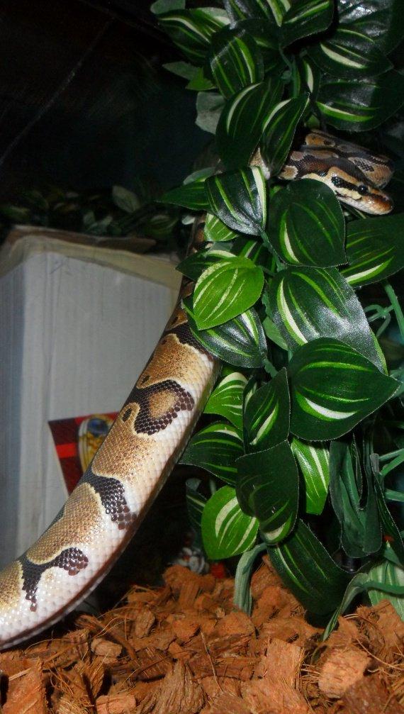 Kaa Mon python Regius