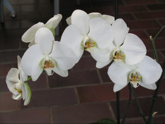 Que faire pour mon orchid e jardinage forum vie pratique - Doit on couper les tiges des orchidees ...