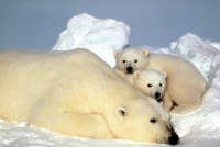 OURS_BLANC