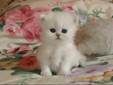 chaton blanc !