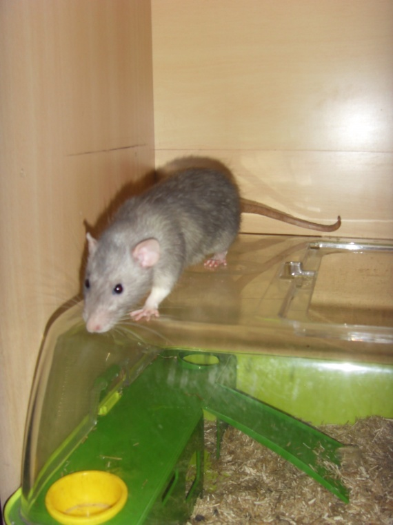 Dumbo le rat