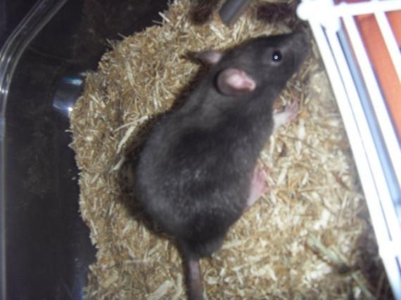 Fripouille le rat