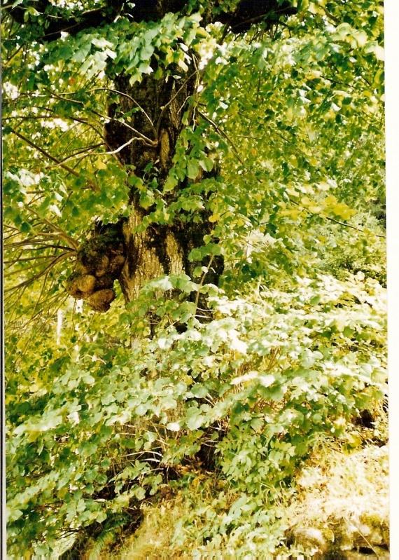 arbre de Valchevrière
