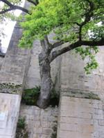 arbre remarquable Ceillé