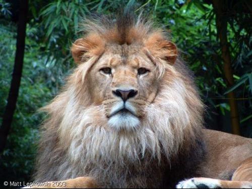 zoo-lion-3